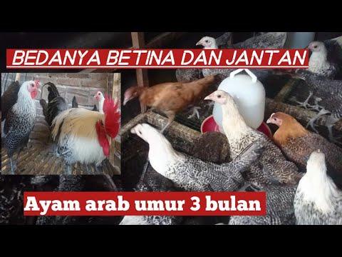 Bedanya Ayam Arab Jantan Dan Betina Umur 3 Bulan Youtube