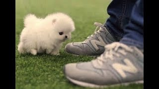 Phốc sóc teacup những chú chó bé nhỏ nhất thế giới