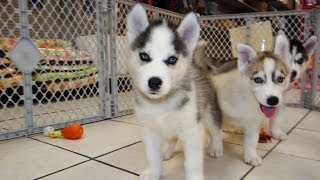 Siberian Husky, Puppies, For, Sale, In, Colorado Springs, Colorado, Co, Montrose, Louisville, Golden