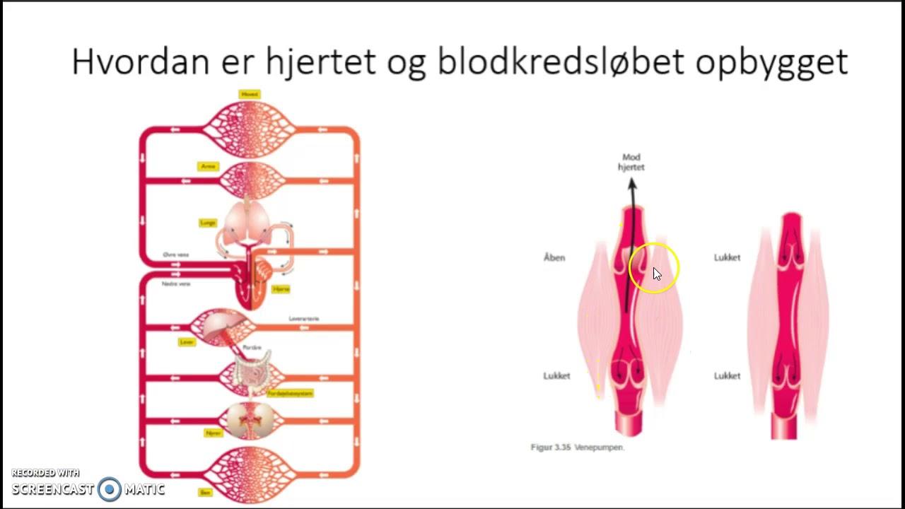 Case - Åndedrættet og blodkredsløbet
