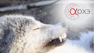 Анастасия Тиханкина: Волк в мире человека и в природе