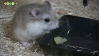 普段フクロモモンガに与えている小動物用のゼリーをロボロフスキーハム...