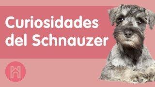 10 Curiosidades Schnauzer Que Deberías Conocer (2021)