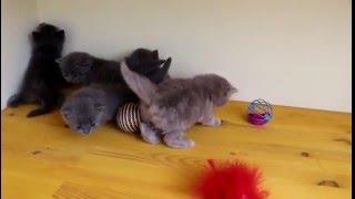 Британские котята, 4 недели. Продажа британских котят
