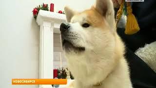 «Вести» узнали про особенности характера собак породы акита-ину
