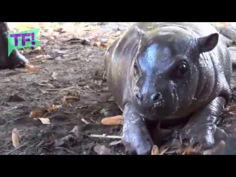 Meet Olivia- Sweden's CUTEST baby pygmy hippo