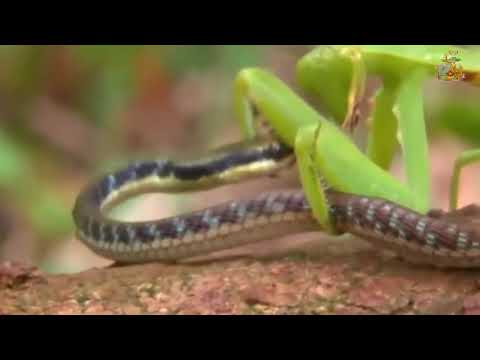 珍しいカマキリと驚きの捕食 ヘビを食べてるぞ!