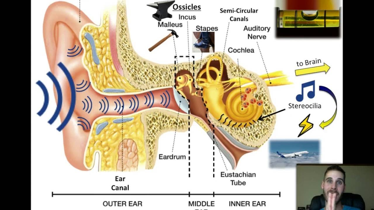 Physics Lesson Parts Of The Ear Youtube