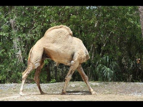 Headless Camel Lol