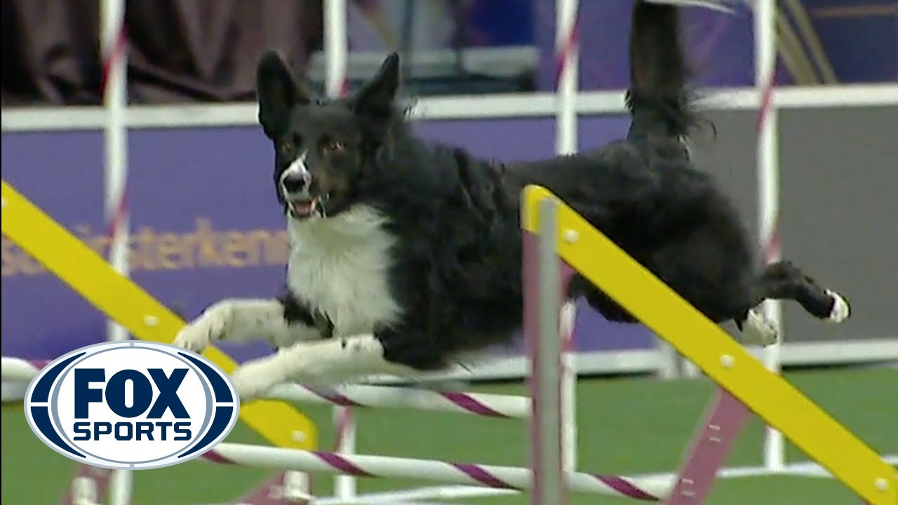Verb captures 2019 WKC Masters Agility Grand Champion title
