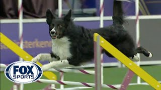 Verb captures 2019 WKC Masters Agility Grand Champion title | FOX SPORTS
