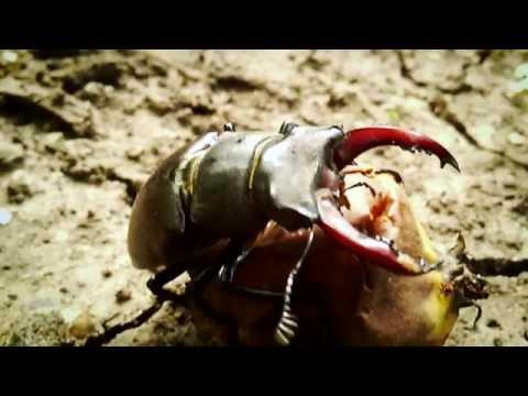 Жук олень. Самый большой жук в Европе. Занесен в красную книгу. Stag beetle. Listed in the red book.из YouTube · Длительность: 2 мин19 с