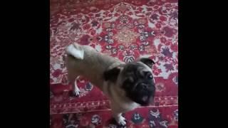 Собака- говорун