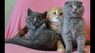 Три шотландских котенка 2 мес.