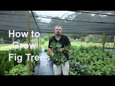 How to grow Fig Trees with detailed description