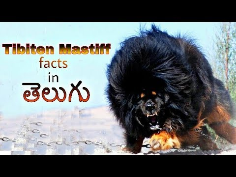 Tibetan Mastiff Dog Facts in Telugu | popular dog breed | Taju logics