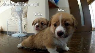 Name Of 20130629 Part 2 Cute Corgi Puppies, Puppy Follows A Camera. / カメラを追いかけるコーギー 子犬