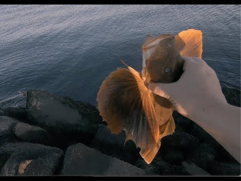 Saltwater Fishing, Providence Rhode Island - Whole Lot Of Sea Robins