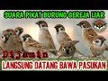 Suara Pikat Burung Gereja Jernih  Mp3 - Mp4 Download