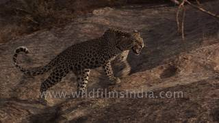 Leopard in muscular stealth mode walks down desert rockface, well camouflaged