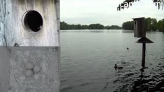 "Woodiecam1 6-9-14 Aurora's  ""lucky 7""  Wood Duck Babies Splashdown."