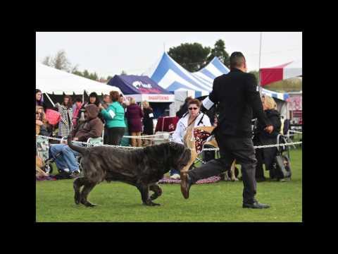 Neapolitan Mastiff Dog Show Our Mega Wins BOB 4/8 & 4/9 2017