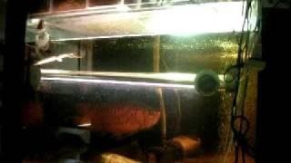 たぶん、50cmくらい。水中蛍光灯のキスゴムの内々で52cmです。...