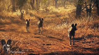 Painted Dogs Hunting on Pridelands Conservancy in the Greater Kruger National Park