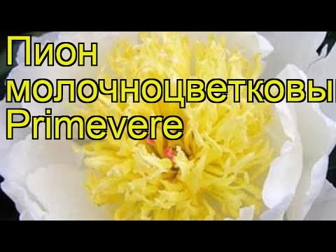 Пион молочноцветковый Примевере. Краткий обзор, описание характеристик paeonia lactiflora Primevere
