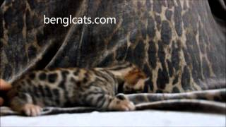 Бенгальская кошка, бенгал, бенгальский кот, бенгальские котята, котята бенгальской кошки, bengal
