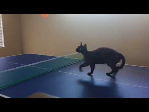 Devon Rex Cat, Pepe catches ball without dropping