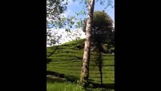 Tea Plantation Rancabali Ciwidey Bandung