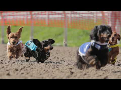 Wiener dog racing at the New Orleans Fair Grounds