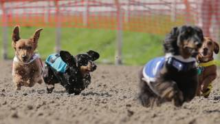 Video Wiener dog racing at the New Orleans Fair Grounds download MP3, 3GP, MP4, WEBM, AVI, FLV Juni 2018