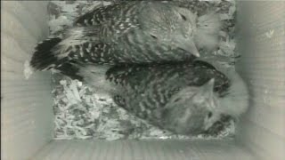 Baby Red Bellied Woodpeckers In Nest Box - 8 Hours
