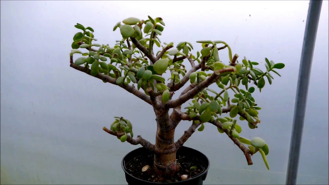 Pruning A Neglected Jade Plant