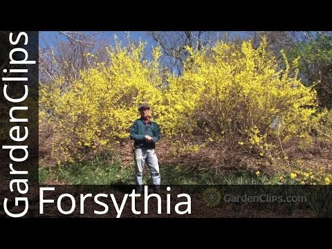 Forsythia - How to grow Forsythia - How not to prune Forsythia