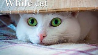 Белая кошка с розовым носом