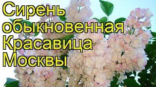 видео Сирень розово-лиловая