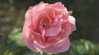 En Aranjuez con tu amor - Il Divo  / Concierto de Aranjuez - Rosas y música