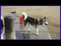 Happy Huskies DogParks Adventures 9