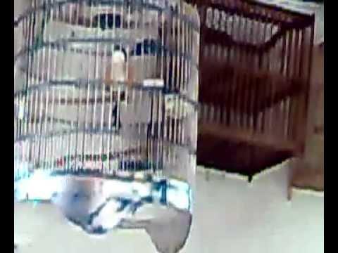 Ocehan Burung Pentet.mp4