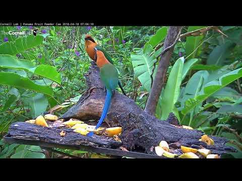 Rufous Motmots Exhibit Allofeeding Behavior On Panama Fruit Feeder - April 18, 2018 - 동영상