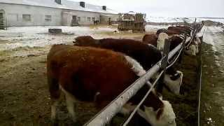 Продажа быков породы Герефорд