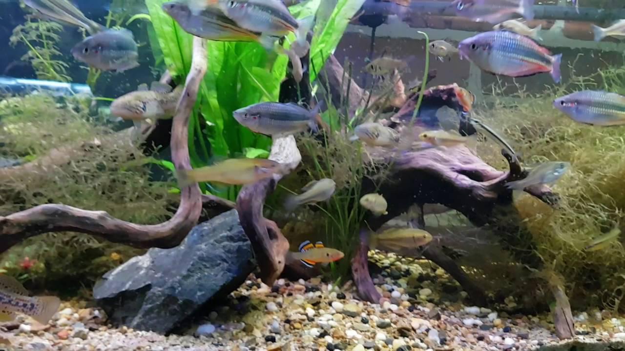 Freshwater aquarium fish brisbane - 4ft Native Fish Tank All Fish Caught Locally In The Brisbane South East Queensland Area