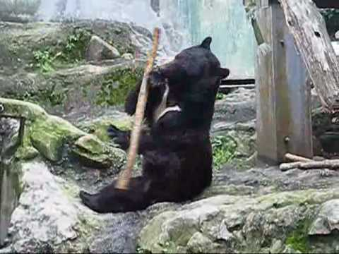 Kung Fu Bear- Unedited Footage(NOT FAKE!)-ORIGINAL
