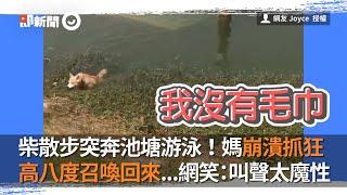 柴散步突奔池塘游泳!媽高八度召喚回來...網笑:叫聲太魔性|寵物|柴柴