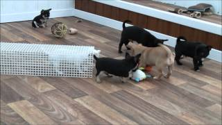 Chihuahua Puppies 1/11/2014