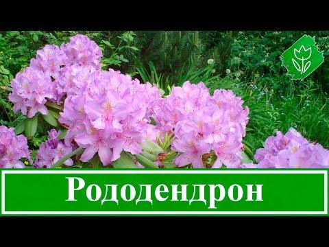 🌸 Садовый рододендрон – посадка и уход, выращивание рододендрона и сорта; цветок рододендрон