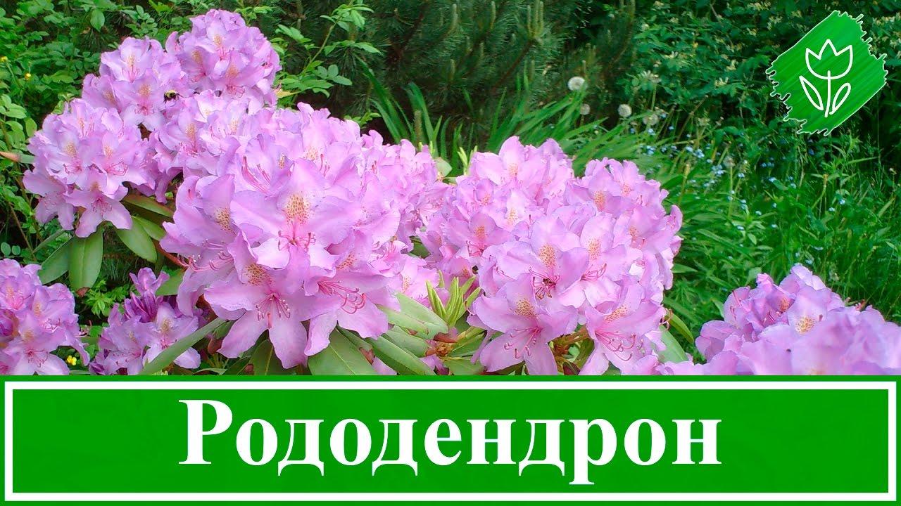 Цветок рододендрон садовый уход